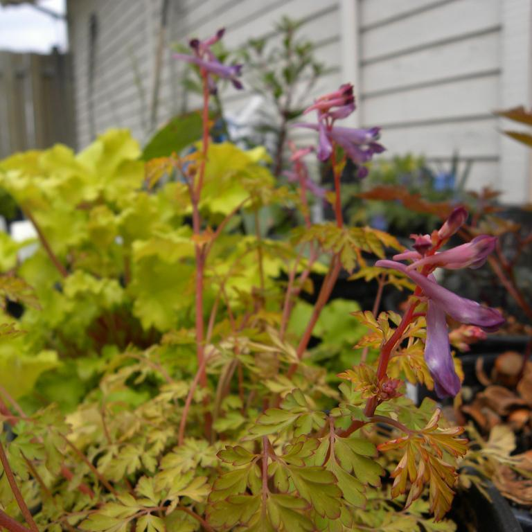 'Berry Exciting' (Corydalis hybride)