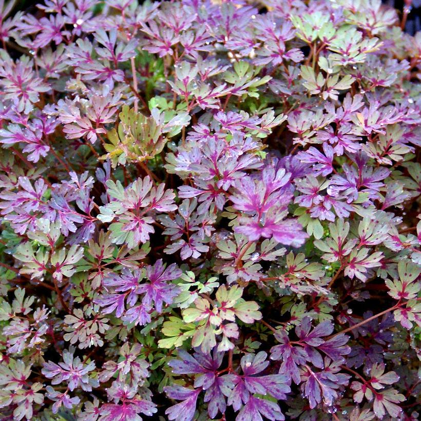 'Purple Leaf' (Corydalis flexuosa)