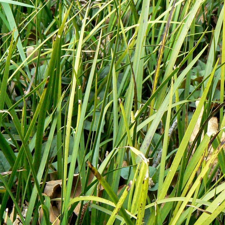 Acore à feuilles de graminée (Acorus gramineus)