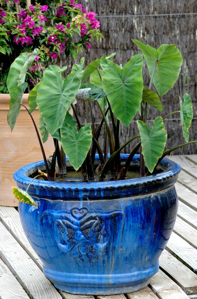 Alocasia planter et cultiver ooreka for Plante 4 images 1 mot