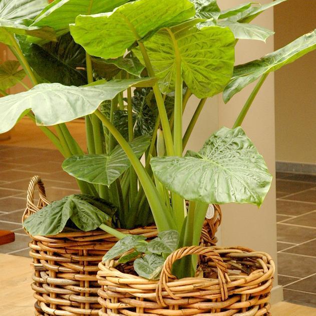 Alocasia planter et cultiver ooreka for Alocasia d interieur
