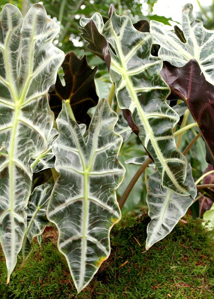 Alocasia planter et cultiver ooreka - Plante de maison ...