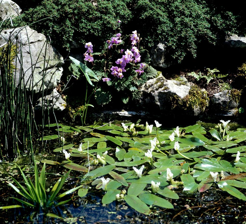 Aponogeton planter et cultiver ooreka for Plante 4 images 1 mot