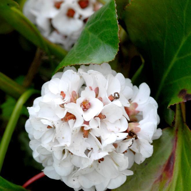 Bergénias hybrides 'Bressingham White'