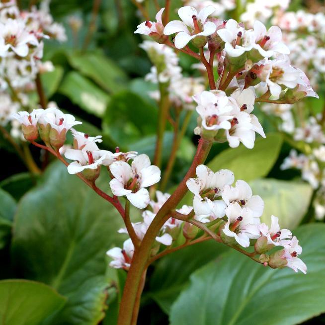 Bergenia crassifolia ou bergénie à feuilles charnues
