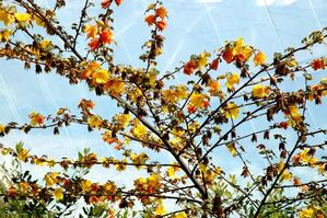 Plantation du frémontodendron