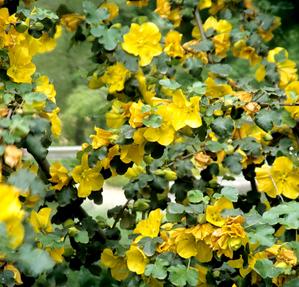 Culture et entretien du frémontodendron