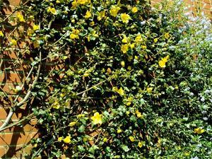 Multiplication du frémontodendron