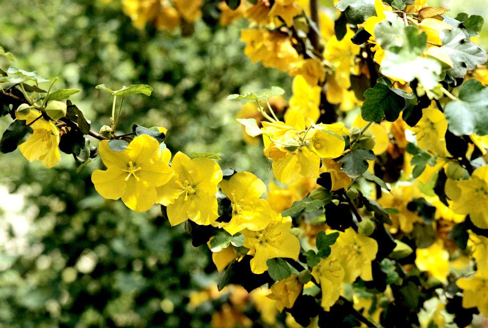 Frémontodendron