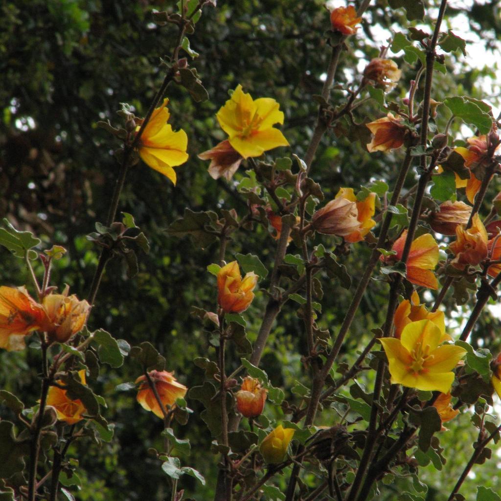 Fremontodendron mexicanum --