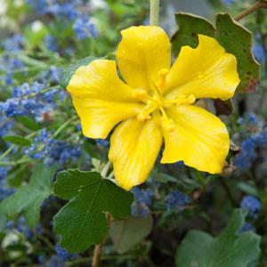 Frémontodendron californicum 'California Glory'