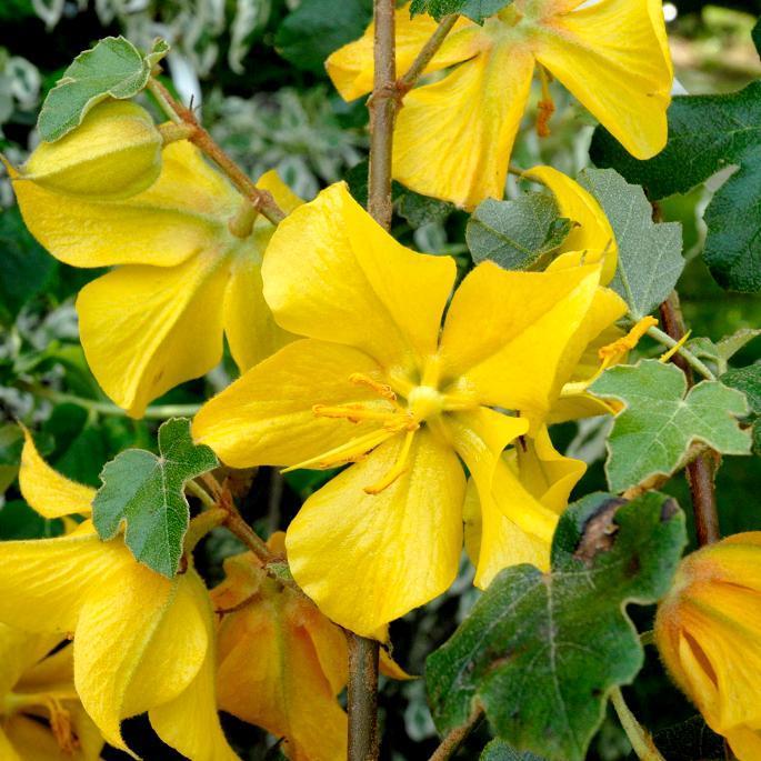 Frémontodendron californicum 'Dara's Gold'