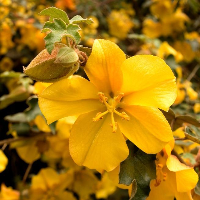Frémontodendron californicum 'Tequila Sunrise'