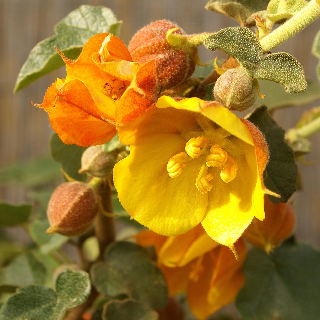 Fremontodendron californicum subsp. decumbens, synonyme Fremontodendron decumbens --