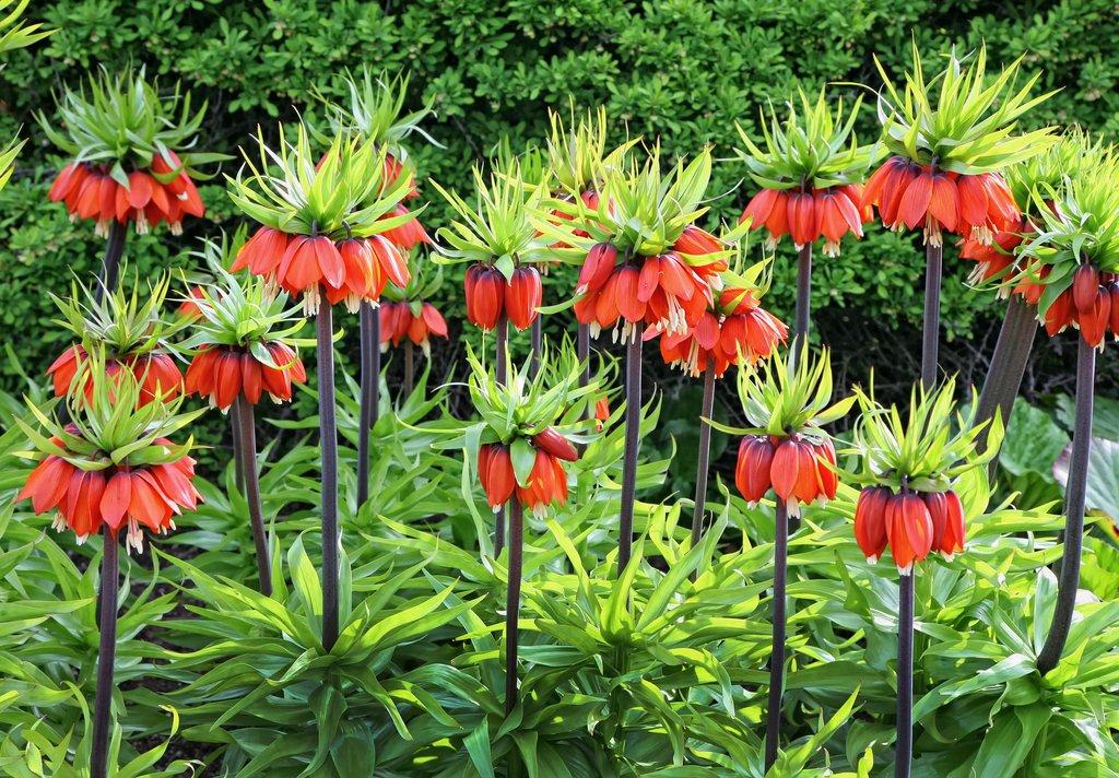 Fritillaire planter et cultiver ooreka for Plante a planter