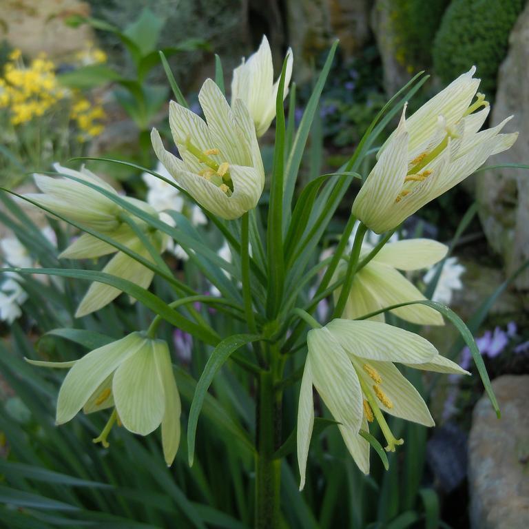 Espèces assez tolérantes Fritillaire de Radde (Fritillaria raddeana)