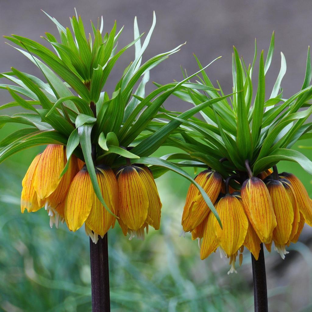 Espèces assez tolérantes Fritillaire impériale (Fritillaria imperialis)