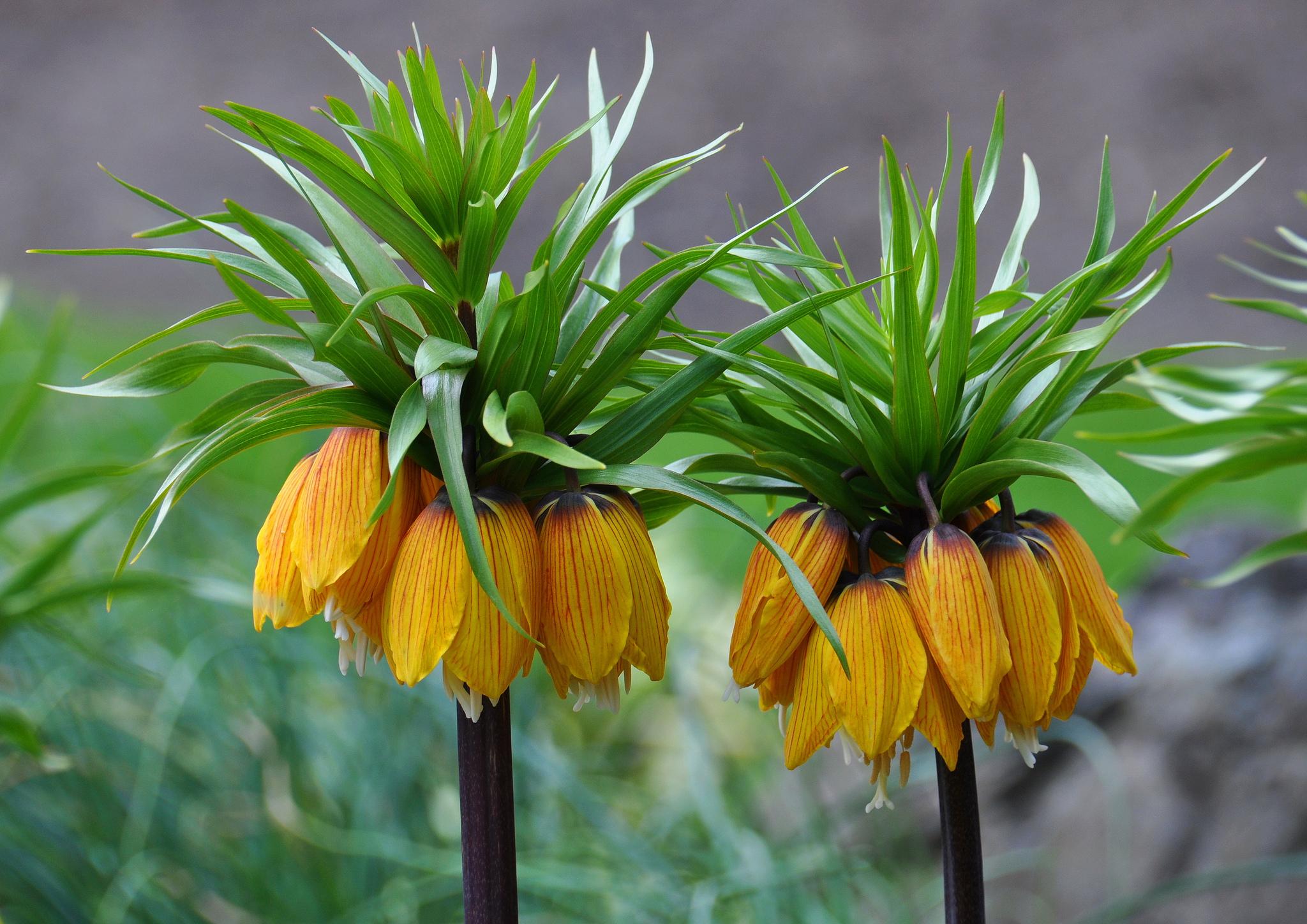 fritillaire   planter et cultiver  u2013 ooreka