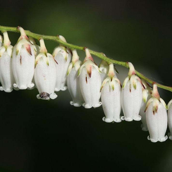 Leucothoe racemosa Espèce type
