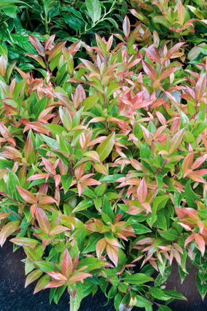 Leucotho 233 Planter Et Cultiver Ooreka