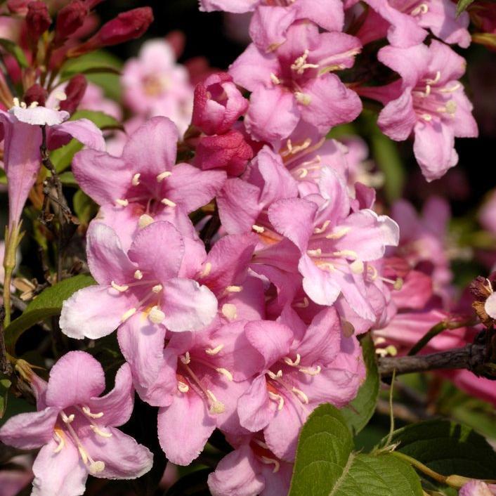 Weigélias de petite taille Pink Poppet®