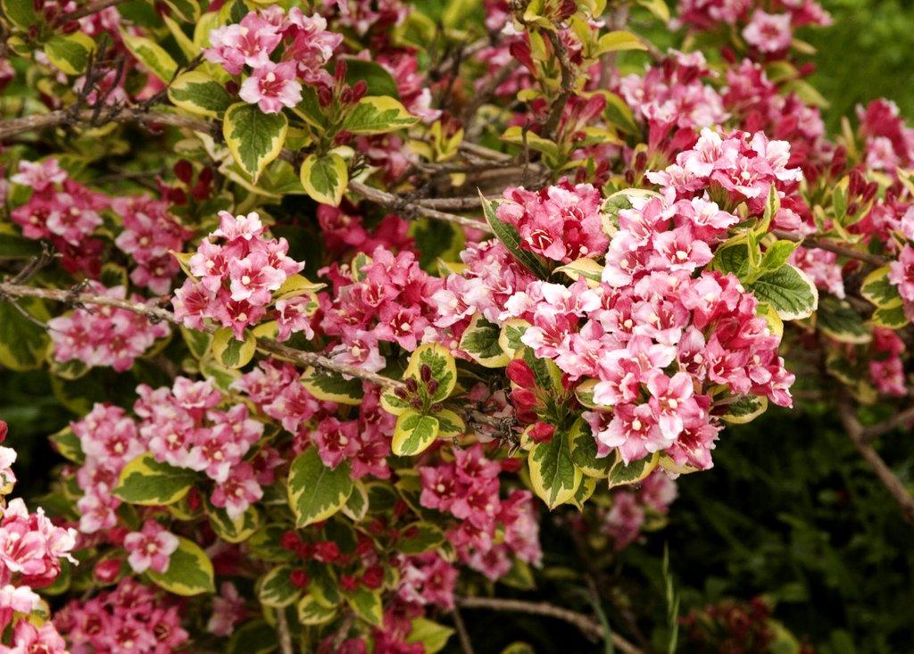 Weig lia planter et tailler ooreka - Taille des lauriers fleurs ...