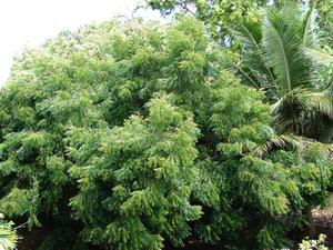 Culture et entretien du neem