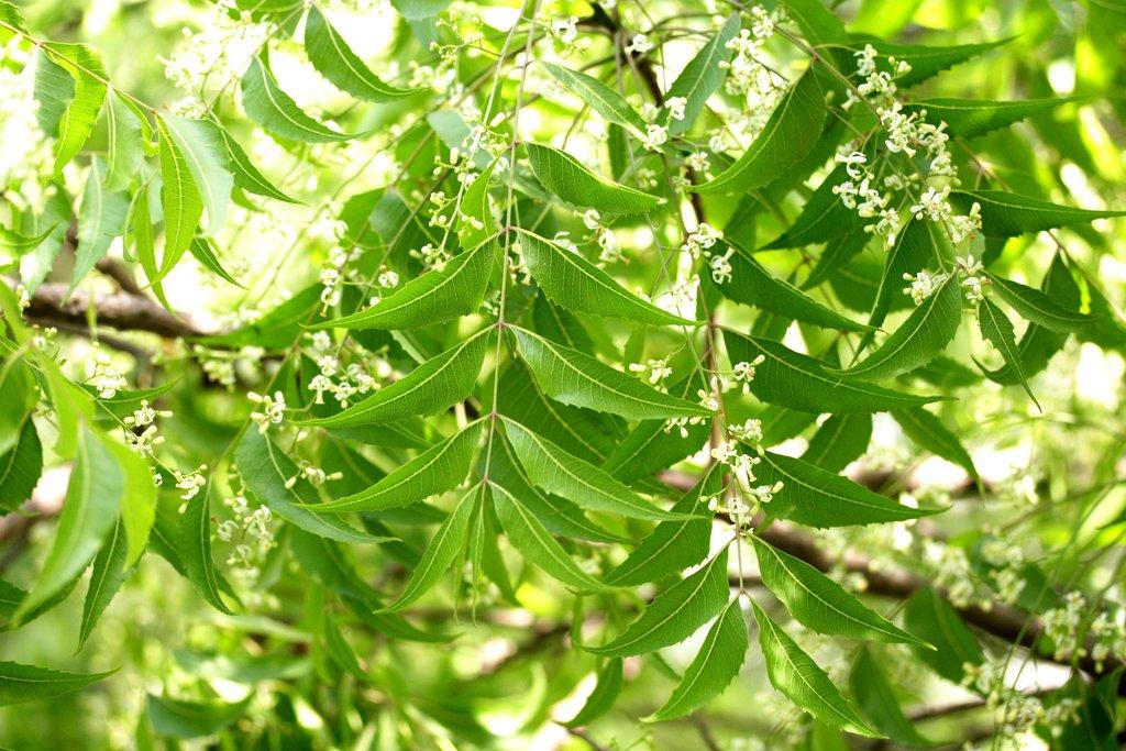 """Résultat de recherche d'images pour """"feuille de neem"""""""