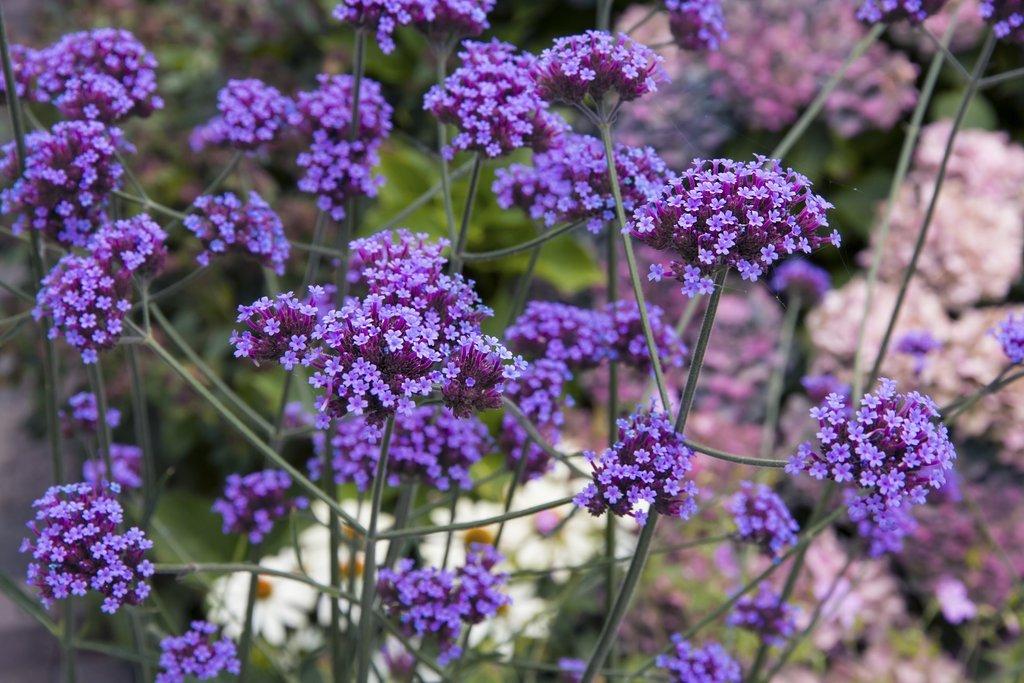 Verveine de buenos aires planter et cultiver ooreka for Plante verveine