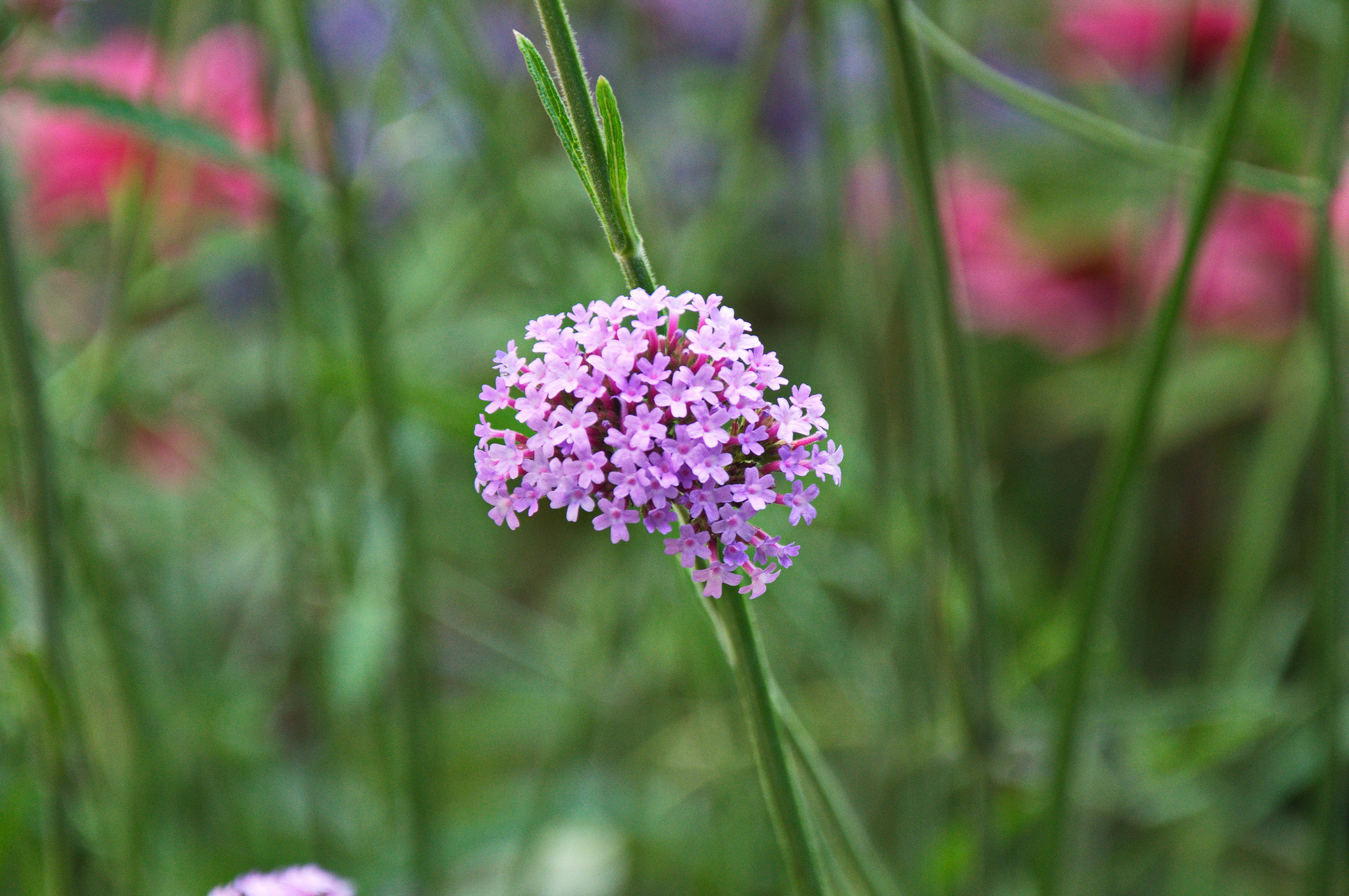 Verveine de buenos aires planter et cultiver ooreka - Planter de la verveine ...