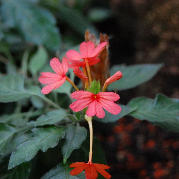 Crossandra Crossandra (nilotica)