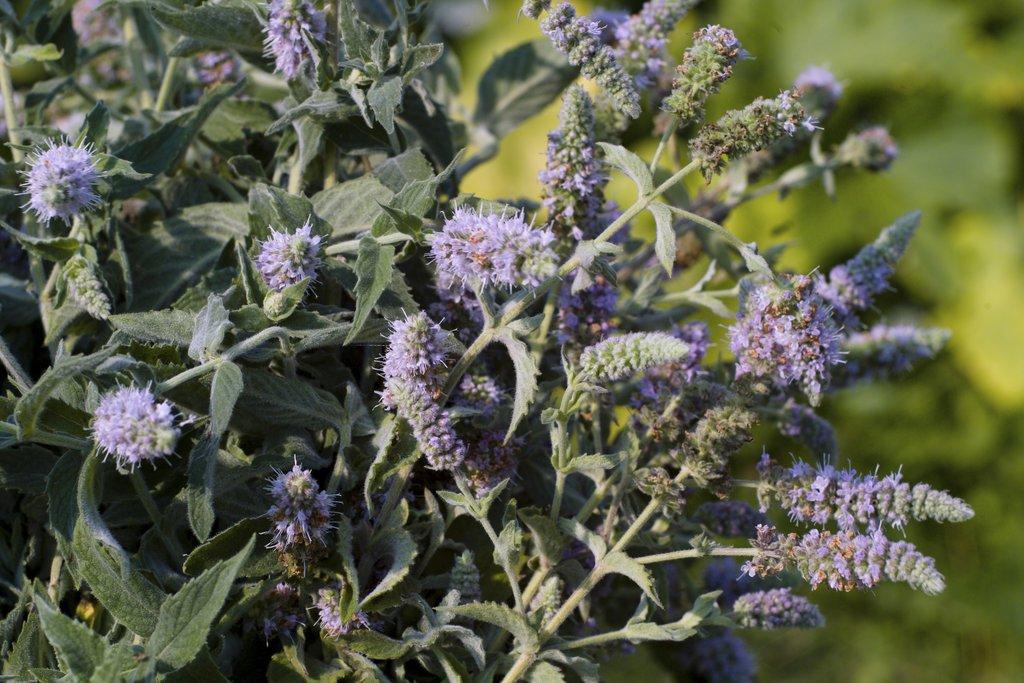 Menthe aquatique planter et cultiver ooreka - Planter de la menthe ...