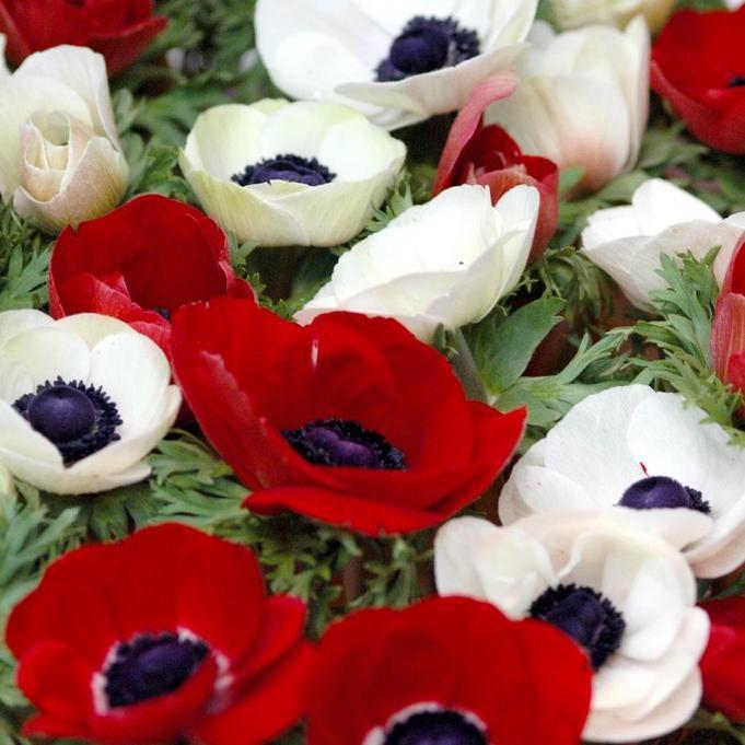 Anémones à repos estival Anémone des fleuristes (Anemone coronaria) et ses cultivars 'de Caen', 'Sainte-Brigitte' aux diverses variétés.