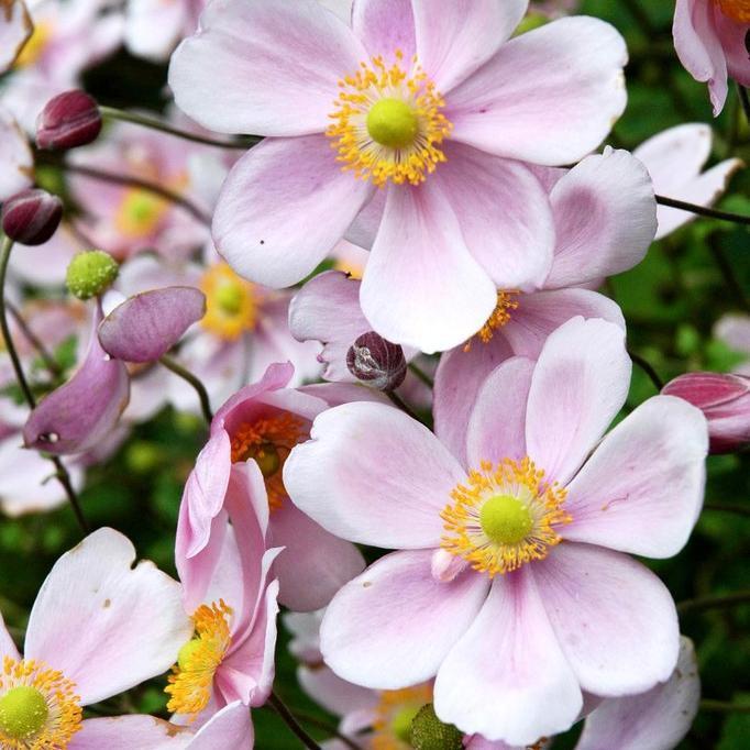 Anémones sans repos estival Anémone du Japon (Anemone hupehensis) et hybrides.