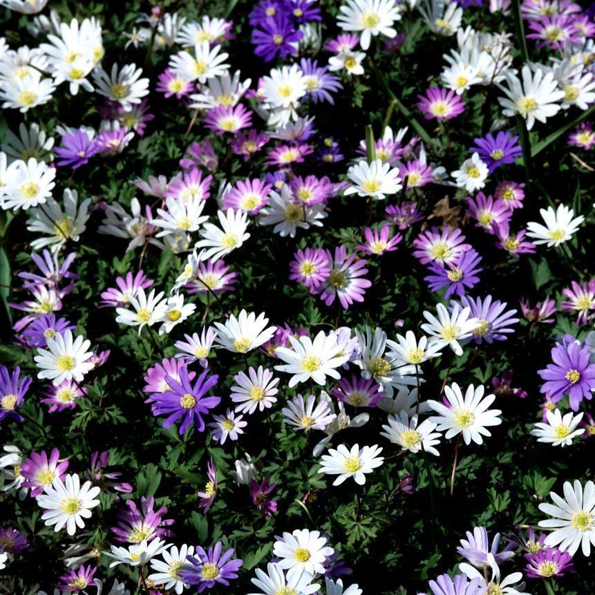 Anémones à repos estival Anémone de Grèce (Anemone blanda) et ses variétés 'Radar', 'White Splendour'