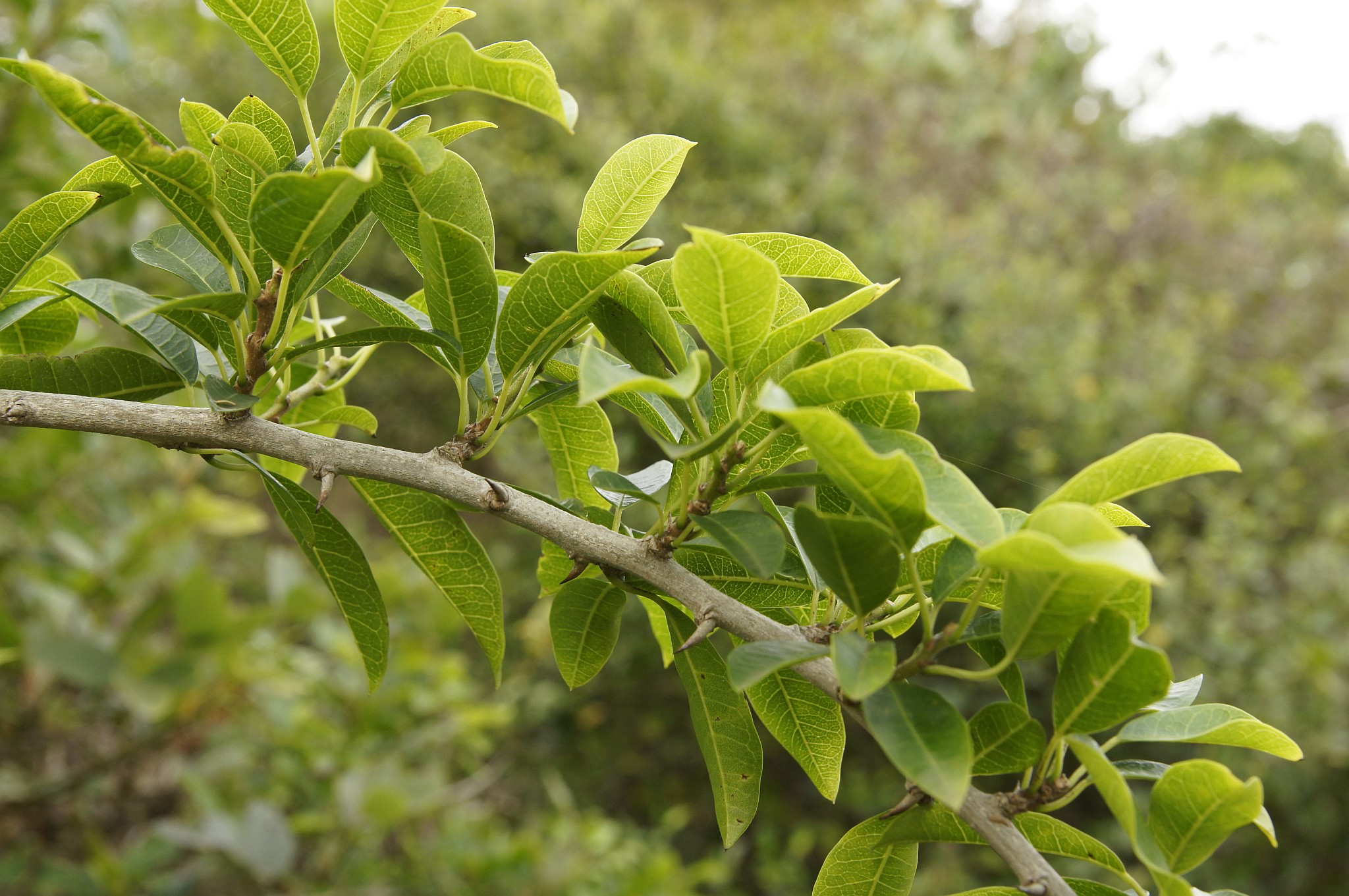 Oranger des osages planter et cultiver ooreka - Oranger du mexique feuilles jaunes ...