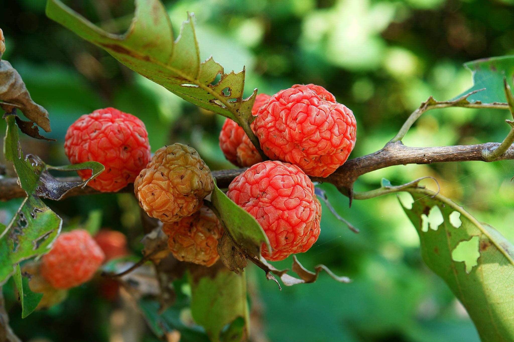 Oranger des osages planter et cultiver ooreka for Portent ses fruits