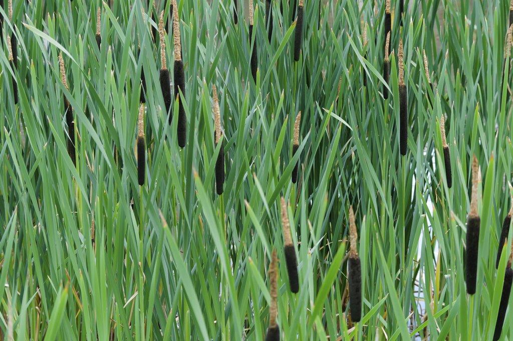 Roseau planter et cultiver ooreka - Noms de plantes aquatiques ...