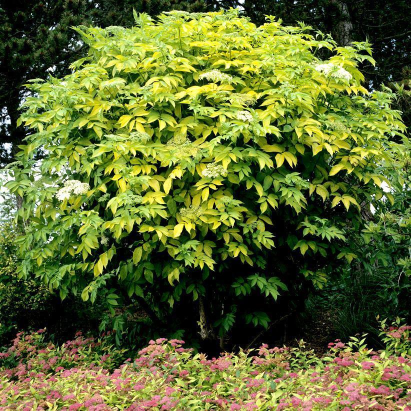 Sureau noir (Sambucus nigra) 'Aurea'