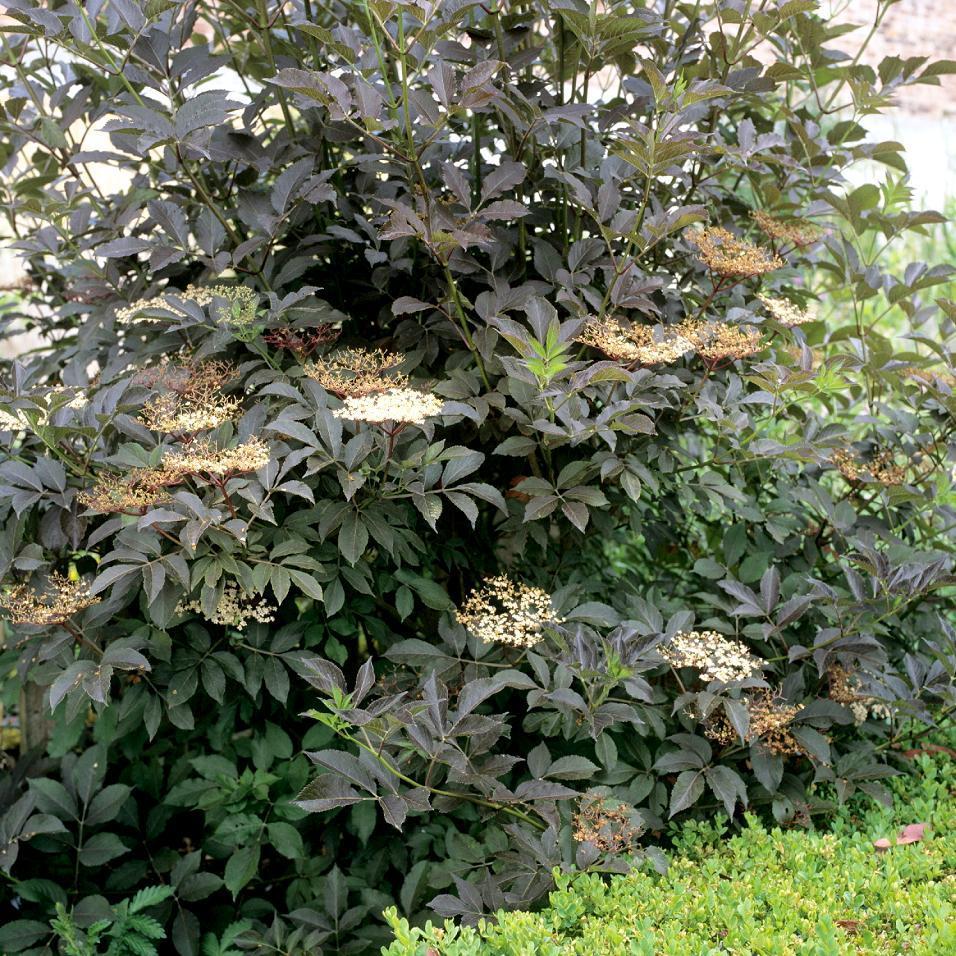 Sureau noir planter et tailler ooreka for Plante 7 folioles