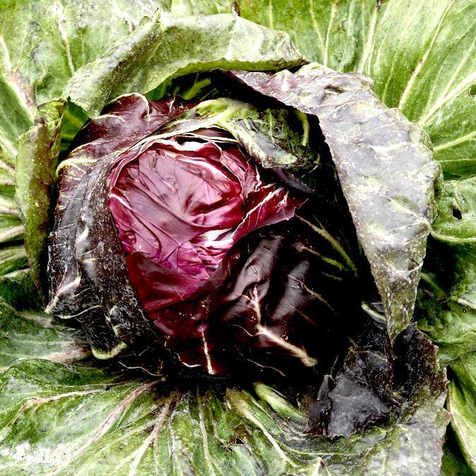Chicorées sauvages (Chicorium intybus) 'Rouge de Vérone'