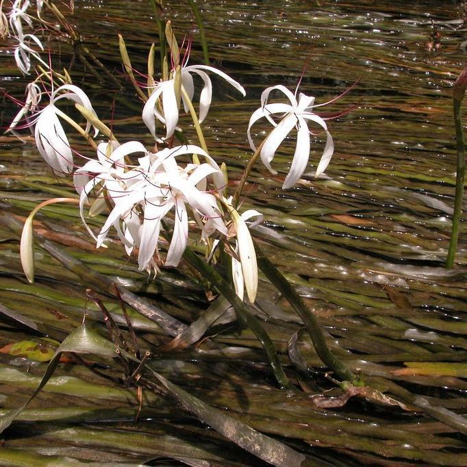 Crinum de Thaïlande (Crinum thaianum)
