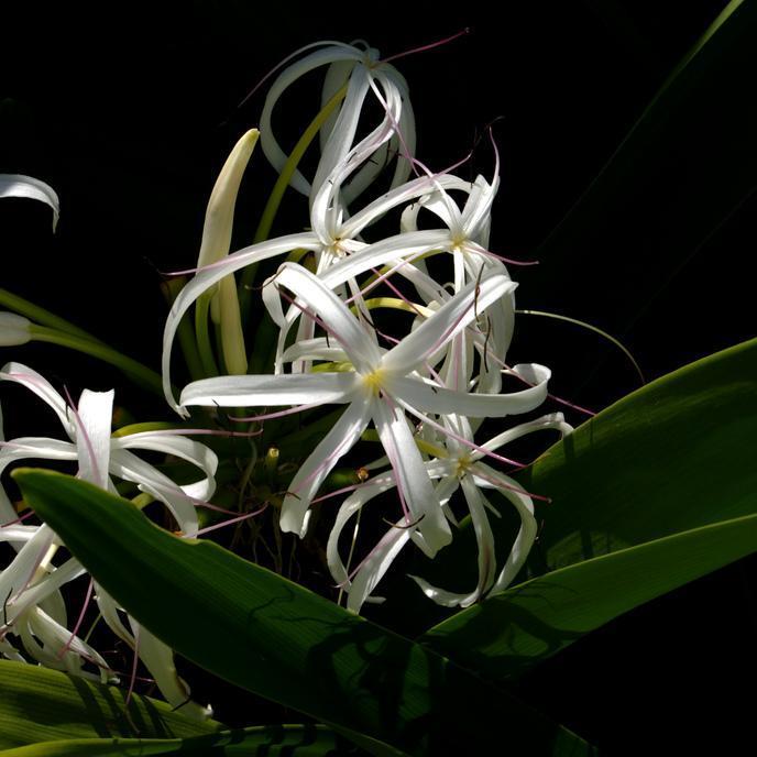 Crinum ou crinole asiatique, grand crinum, lis du Bengale (Crinum asiaticum)