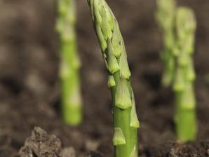 Semis et plantation de l'asperge
