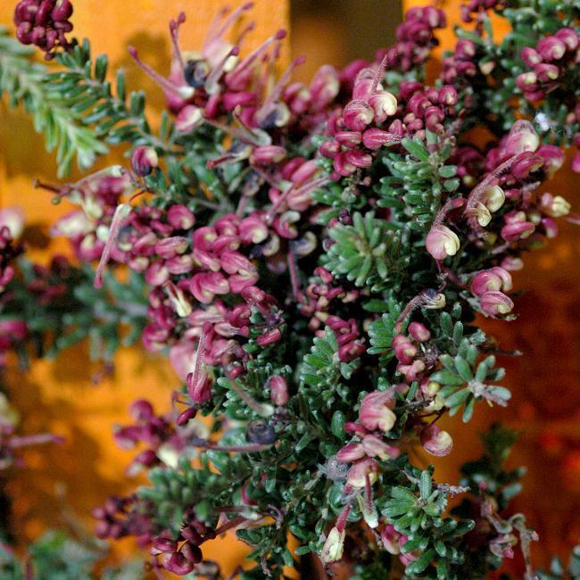 Variété naine Grévilléa laineux (Grevillea lanigera 'Mount Tamboritha')