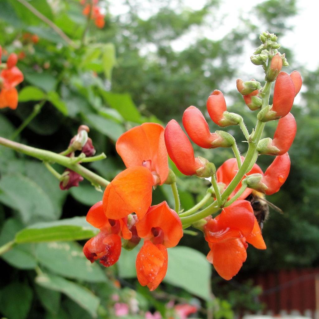 Haricot d espagne planter et cultiver ooreka - Planter des haricots nains ...