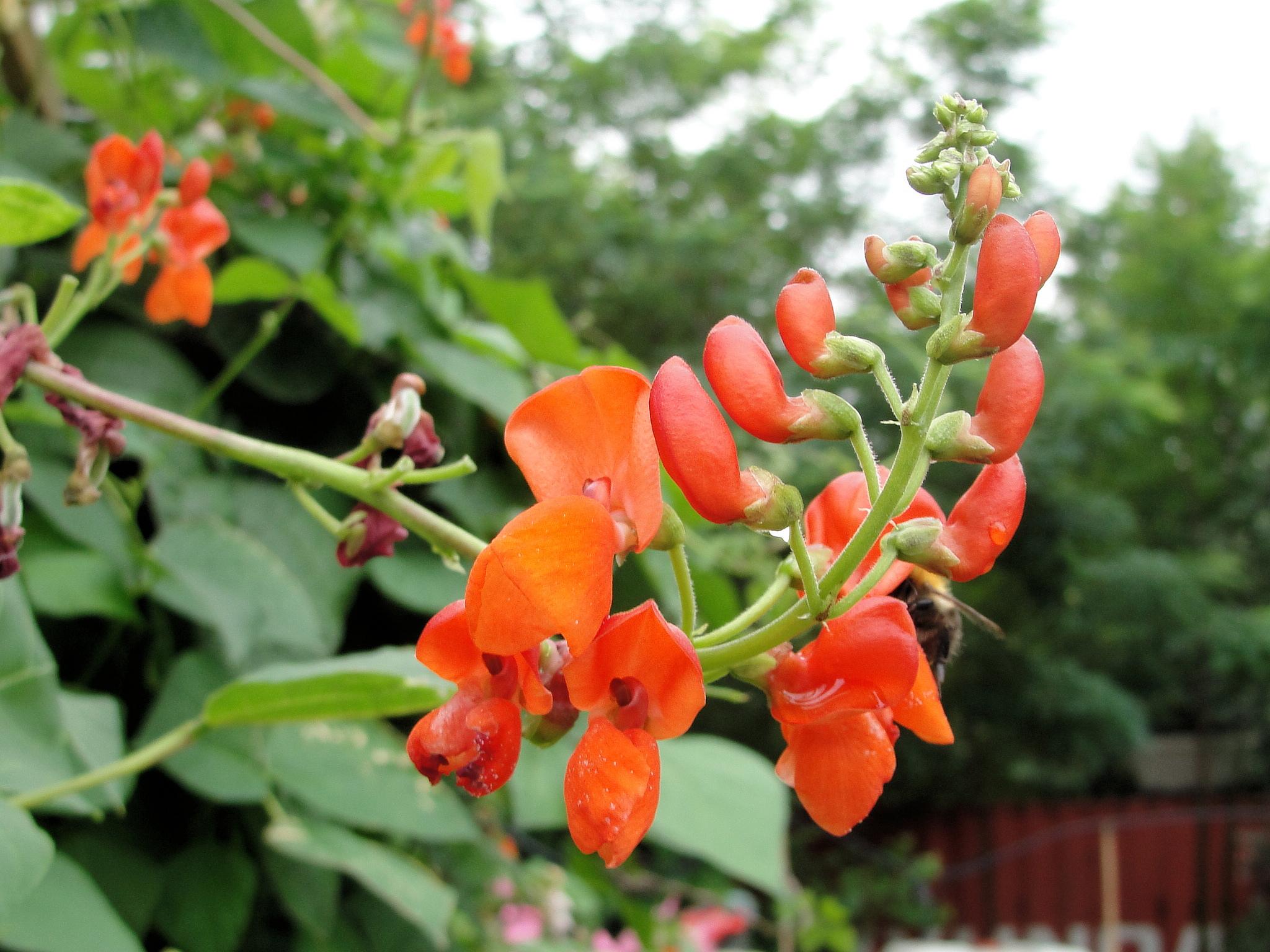 Haricot d espagne planter et cultiver ooreka for Plante ornementale