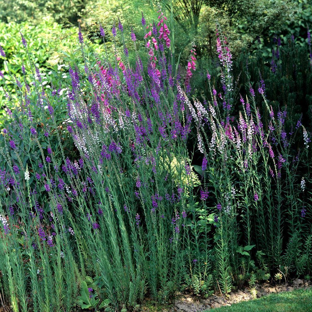 Linaires vivaces Linaire pourpre (Linaria purpurea)