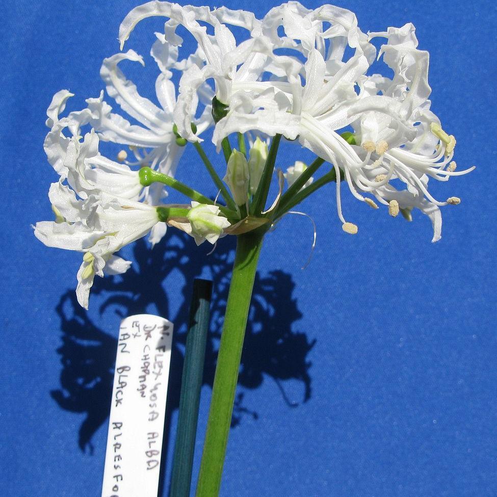 Nerine flexuosa 'Alba'