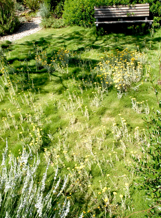 comment planter zoysia tenuifolia